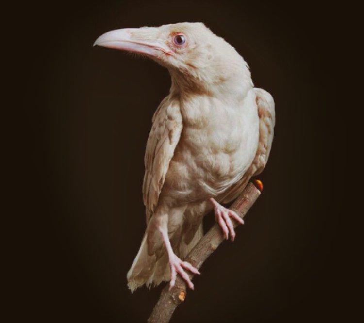 Bright Raven!